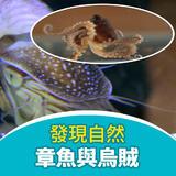 章魚與烏賊