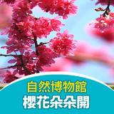 櫻花朵朵開